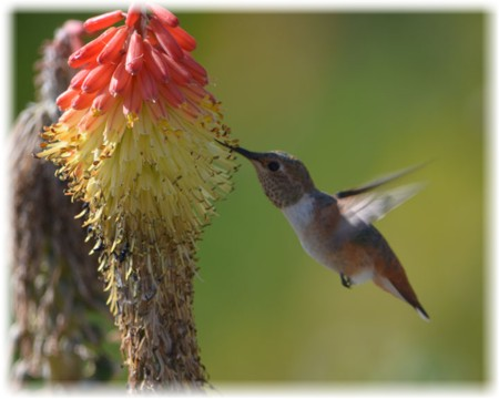 Humming Bird Golden Essence